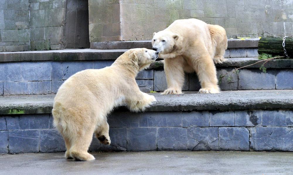 Eisbären Vilma und Lars im Zoo Rostock. Foto: Joachim Kloock