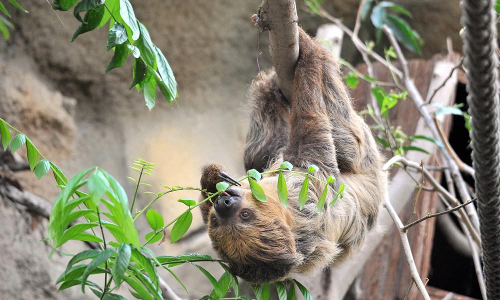 Faultier-Männchen Jens aus dem Zoo Rostock im DARWINEUM. Foto: Joachim Kloock