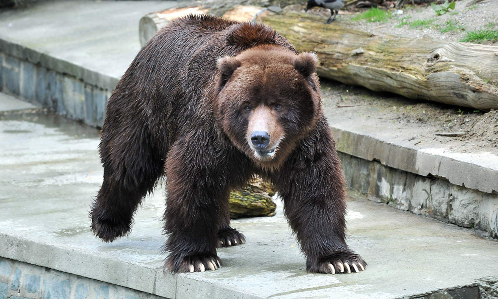 Braunbär Bodo war der Liebling vieler Besucher im Zoo Rostock. Foto: Joachim Kloock