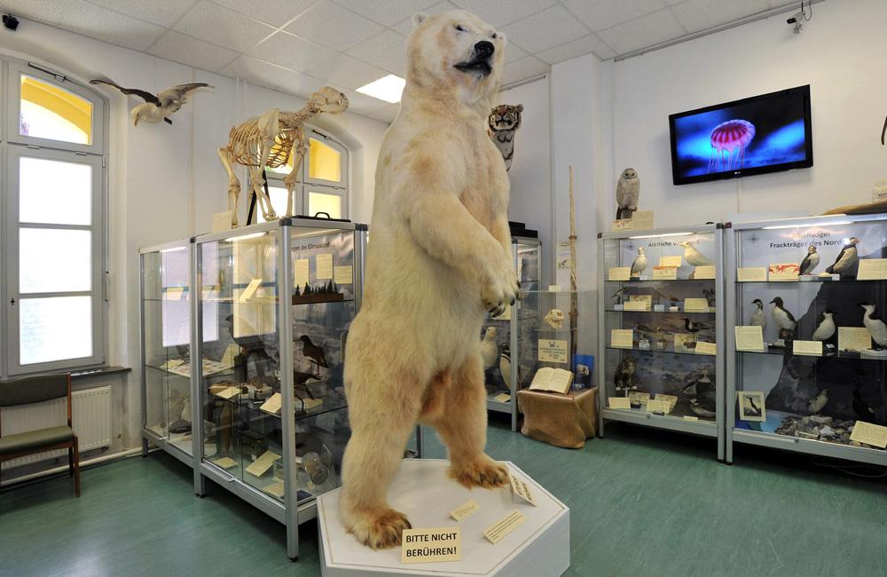 Eisbär Churchill im Zoologischen Instituts Rostock. Foto: Joachim Kloock