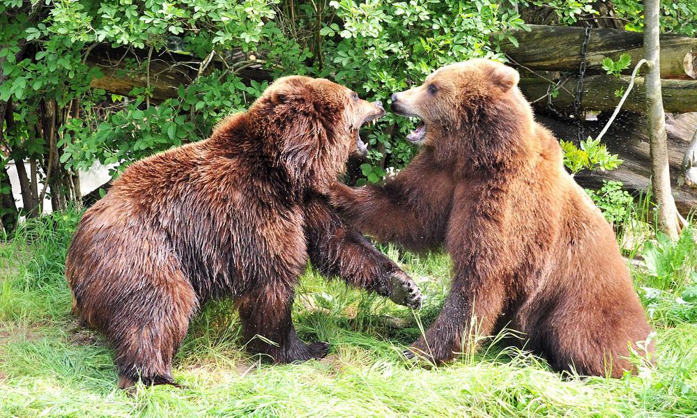 BärenzwillingeWanja und Misho aus Hamburg erkunden ihr neues Revier im Zoo Rostock. Foto: Joachim Kloock