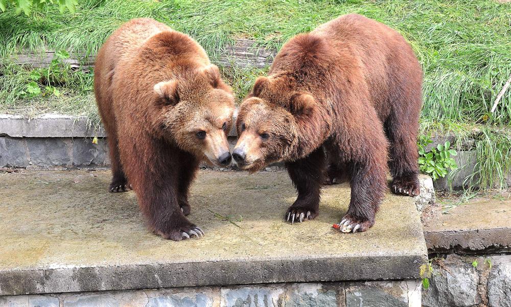 Kamtschatkabären Wanja und Misho im Zoo Rostock. Foto: Joachim Kloock