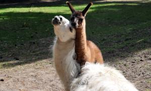 Jungtiere bei den Lamas im Zoo Rostock. Foto: Joachim Kloock
