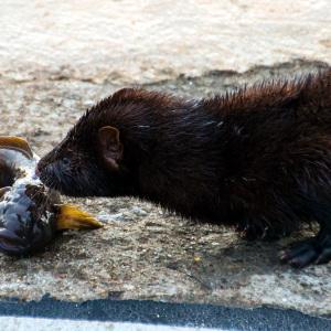Fischotter mit einem Fisch als Beute in Warnemünde. Foto: Jens Schröder