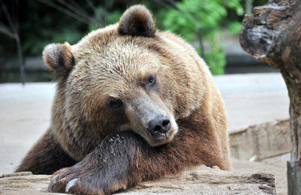 Kamschatkabär im Zoo Rostock. Foto: Joachim Kloock
