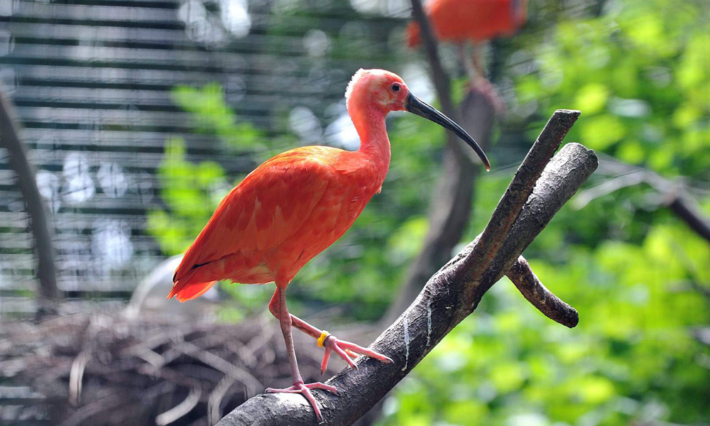 Roter Ibis im Zoo Rostock. Foto: Joachim Kloock