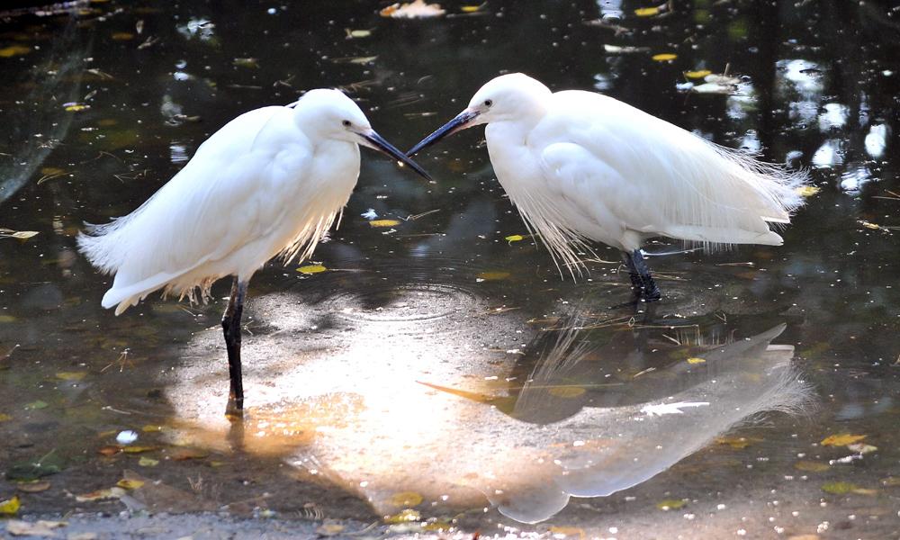 Seidenreiher im Zoo Rostock. Foto: Joachim Kloock