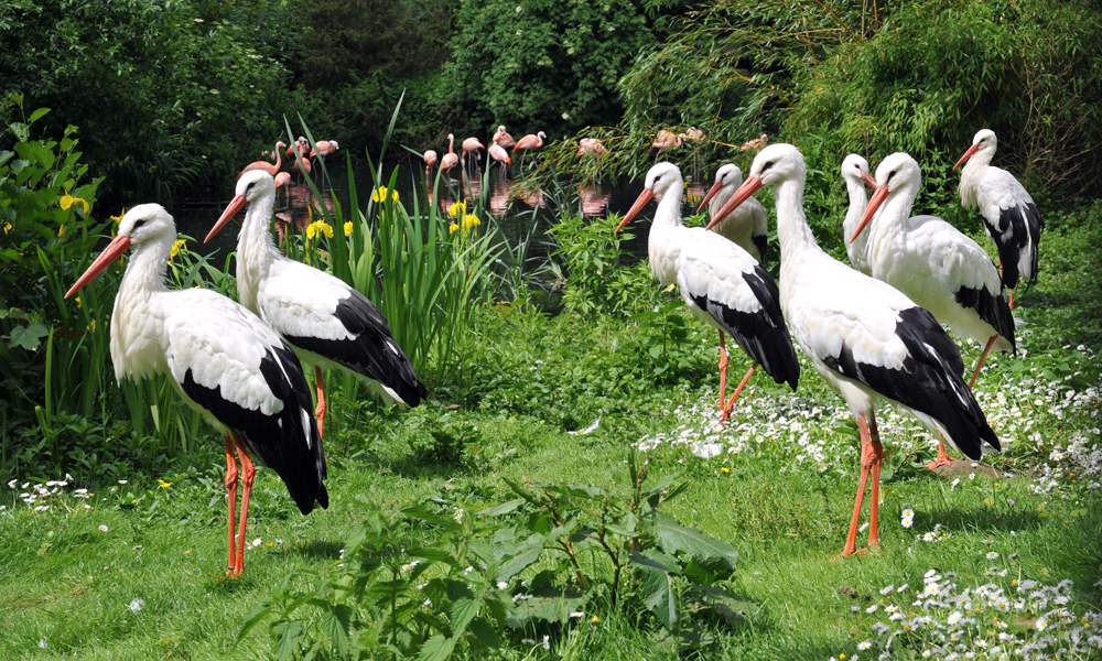 Störche im Zoo Rostock. Foto: Joachim Kloock