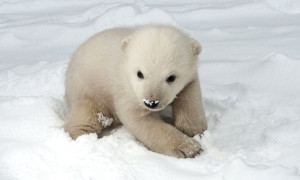 Das Rostocker Eisbärenbaby machte auch gleich seine erste Bekanntschaft mit dem Schnee. Foto: Axel Dobbertin