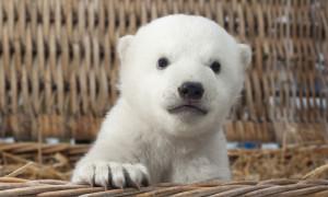Beim Wiegen staunten die Tierpfleger nicht schlecht. Nach nur zwei Monaten brachte der kleine Eisbär schon stolze 7,5 Kilogramm auf die Waage.Foto: Axel Dobbertin
