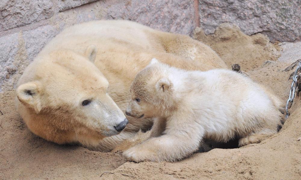 Vilma und ihr jüngste Eisbären-Junge im Zoo Rostock. Foto: Joachim Kloock