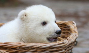 Das Eisbären-Baby ist der große Star im Zoo Rostock. Foto: Danny Gohlke