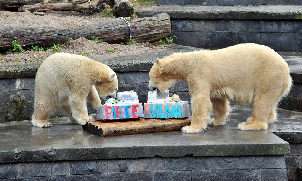 Fiete und Mama Vilma beimEisbären-Geburtstag im Zoo Rostock. Fotos: Joachim Kloock