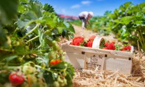 Karls Erdbeeren selber pflücken