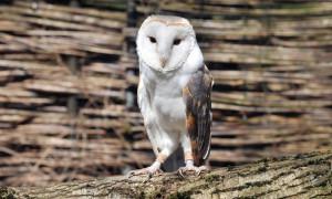 Schleiereule Günther im Zoo Rostock. Foto: Joachim Kloock